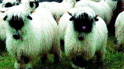 动画片里最萌的羊是哪种?小羊肖恩!