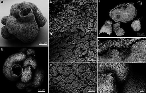 结构和完好的水沟系统,是迄今为止全球发现的最古老的可靠海绵化石.